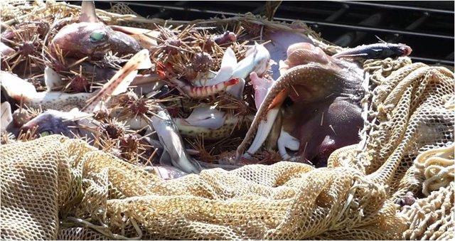 Cádiz.- Un estudio de la UCA centrado en recuperación de la raya podría modificar la cuota de pesca