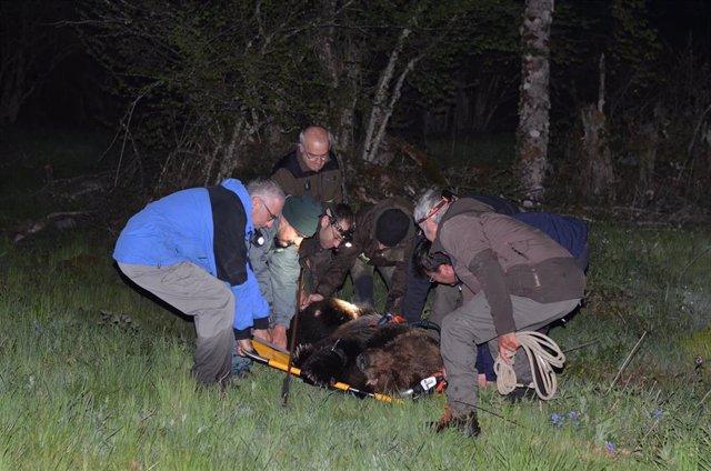 Rescatado un oso pardo cantábrico que fue localizado herido y semi sumergido en un arroyo en Palacios del Sil