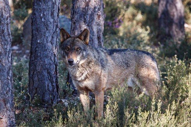 Animalistas ofrecen 1.000 euros a quien aporte datos fiables sobre el autor del disparo que mató a un lobo en Lugo
