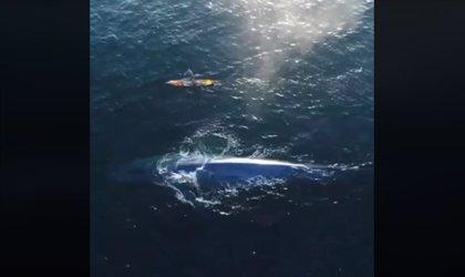Un surfero navega junto a una ballena azul de 24 metros en Laguna Beach (California) y lo graba con un dron