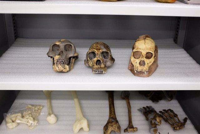 Es improbable que 'Australopithecus sediba' sea ancestro humano directo