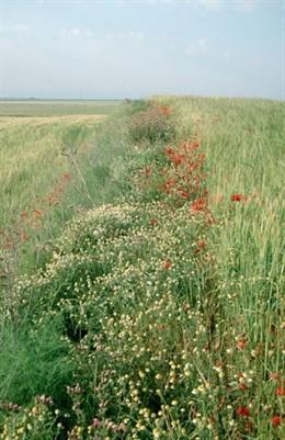 Las lindes entre cultivos mejora la producción agrícola y beneficia la biodiversidad y la agricultura intesiva perjudica