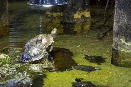 Liberan una decena de galápagos europeos en Aiguamolls de l'Empordà
