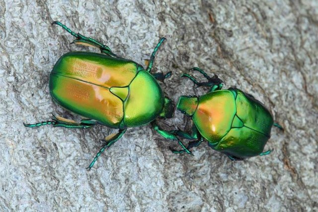La UICN alerta de la desaparición en el Mediterráneo de escarabajos saproxílicos por la disminución de los bosques
