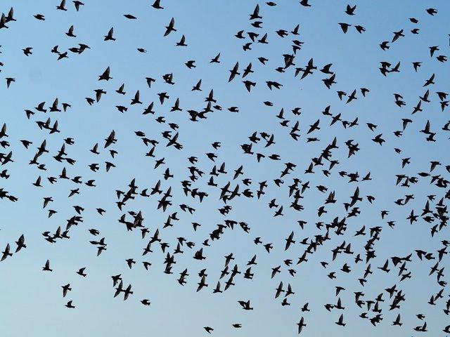Cómo las relaciones sociales prevalecen en las bandadas de aves