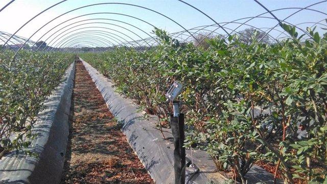 """Agro.- Freshuelva advierte del """"desfase"""" entre el consumo y el precio del arándano en los mercados"""
