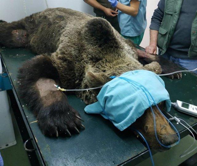 El oso rescatado en Palacios (León) se encuentra grave con sospecha de lesión medular y permanece en observación