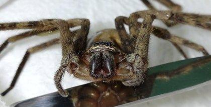 Encuentran una peligrosa araña australiana de diez centímetros en Iquique, Chile