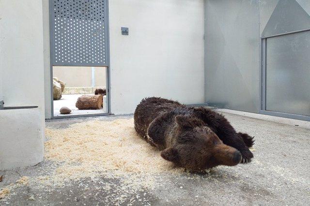 Muere el oso pardo hallado herido en León y atendido en Cantabria