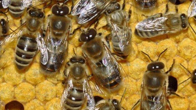 Una invasión de abejas interrumpe un partido en Argentina