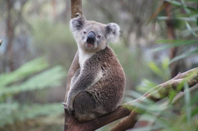 ¿Se Pueden Ver Koalas En México?