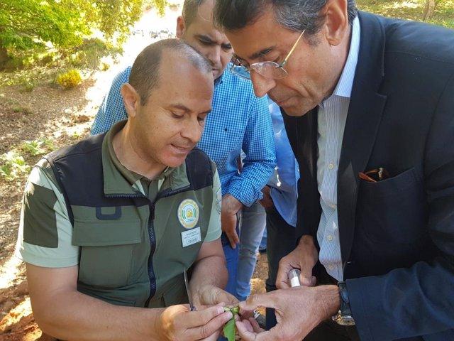 Málaga.- Comienza en 12 municipios la suelta del depredador biológico para luchar contra la avispilla del castaño