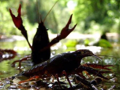 Investigadores del CSIC descubren en un estudio rutas mundiales de la invasión del cangrejo rojo a partir de su genética
