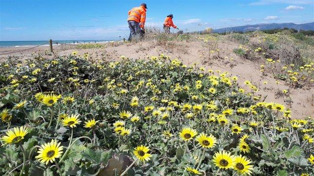 Una campaña del AMB retira 5.000 kilos de plantas invasoras del delta del Llobregat