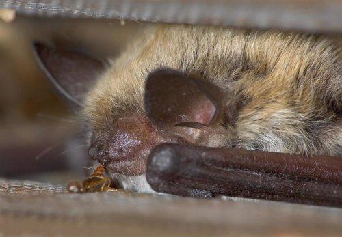 Las chinches son más antiguas que los murciélagos