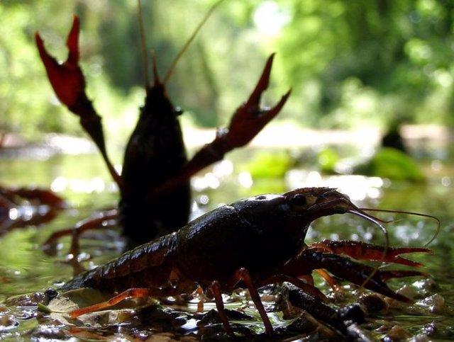 Investigadores del CSIC descubren las rutas mundiales de la invasión del cangrejo rojo a partir de su genética
