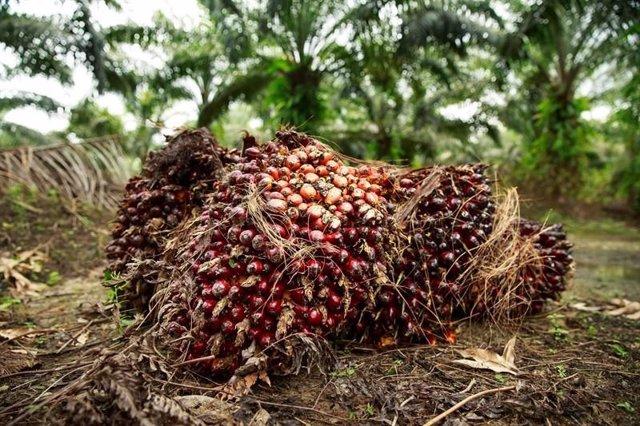 El aceite de palma, la alternativa saludable a las grasas trans