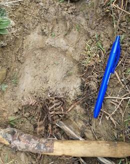 Una oveja muerta por el ataque de la osa Claverina en Uztarroz