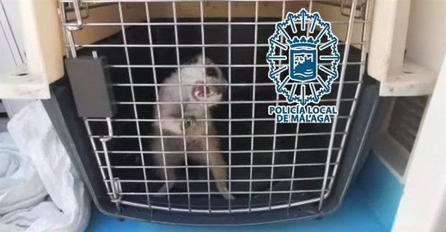 Málaga.- Sucesos.- Capturan y recuperan a una suricata agresiva que pretendía adentrarse en una vivienda de Málaga