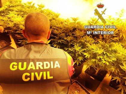 Intervienen 900 plantas de marihuana en una plantación 'indoor' en una casa alquilada de Elda
