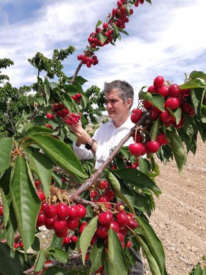 Agricultura desarrolla en Jumilla una red experimental de cultivo del cerezo