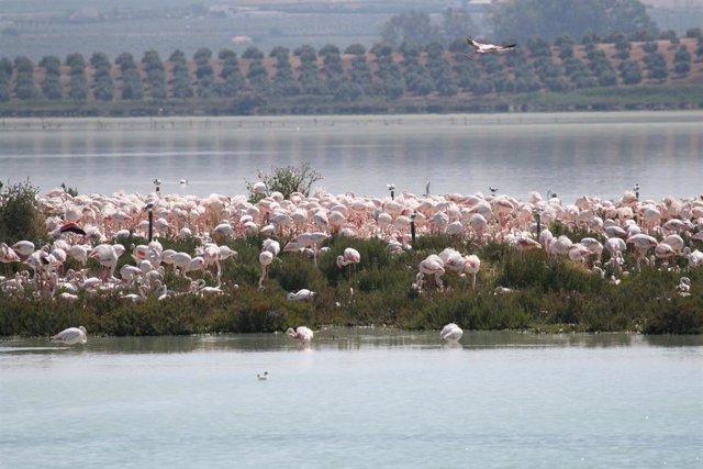 Málaga.- La Laguna de Fuente de Piedra cuenta con 8.000 parejas reproductoras de flamenco rosa en el territorio de cría