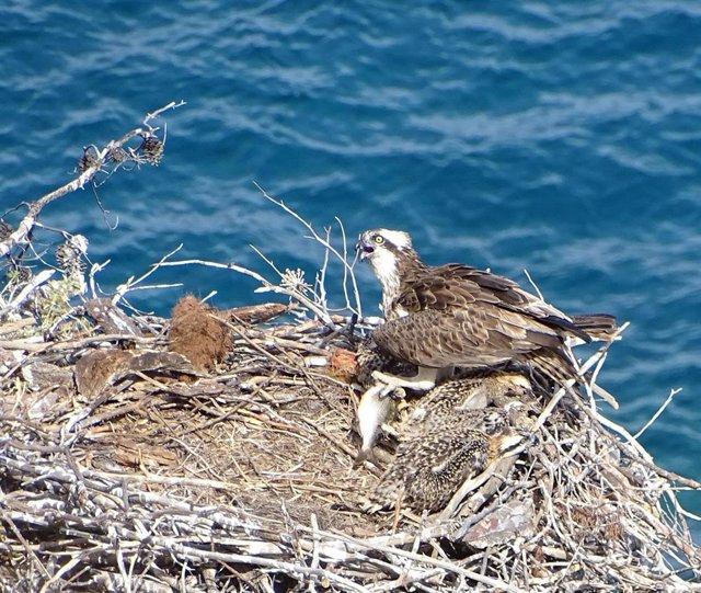 Baleares participa en la reintroducción del águila pescadora en la Comunidad Valenciana