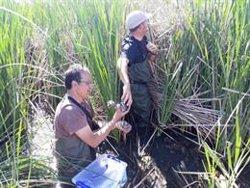 L'estany d'Ivars i Vila-sana acull per primera vegada un projecte de monitoratge de bernat pescaire (ACN)