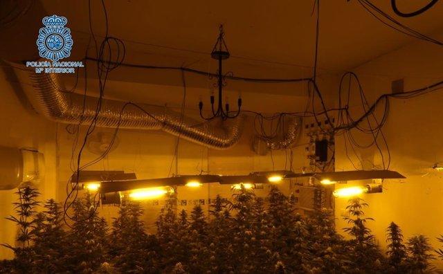 Sevilla.-Sucesos.- Desmanteladas dos plantaciones de marihuana en Alcalá de Guadaíra en una operación con un detenido