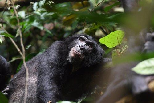Las madres Bonobo se aseguran de ser abuelas