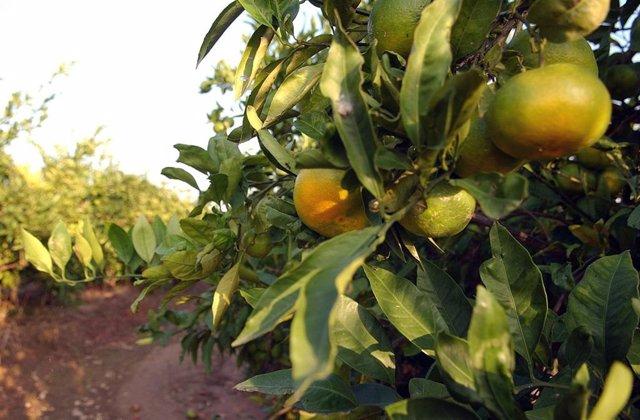 El PSOE destaca que las exportaciones de naranjas de Sudáfrica bajaron un 38% en el solapamiento de campañas en 2018