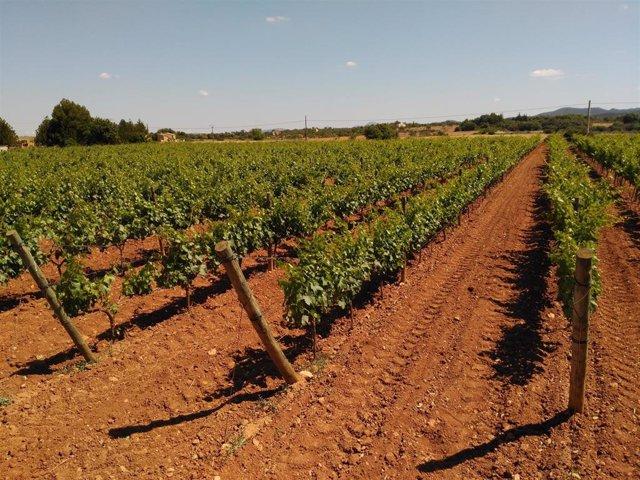 El Govrn amplía hasta el 24 de mayo la campaña para combatir el vector de la Xylella fastidiosa en la viña