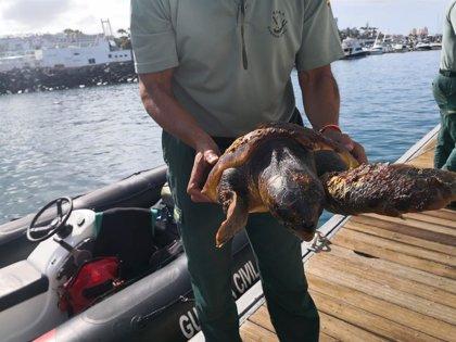 Salvan una tortuga atrapada entre restos de basura en la Caleta de Adeje