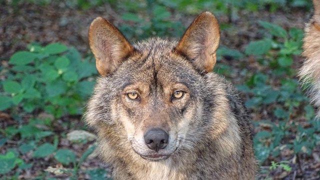 El Gobierno de Aragón investiga si un lobo es el autor de la muerte de tres ovejas en Tardienta (Huesca)