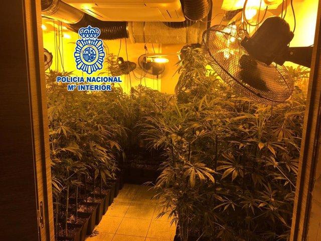 Successos.- Desmantellen un cultiu de mil plantes de marihuana a Santa Maria de Palautordera (Barcelona)