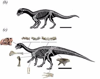 Hallazgo único en Argentina. Un dinosaurio cuadrúpedo que se hacía bípedo de adulto