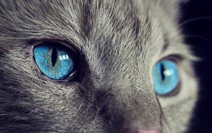 Un gato despierta a su dueña embarazada en plena crisis hipoglucémica y salva su vida