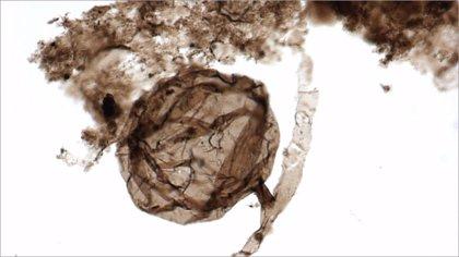 La era de los hongos retrocede hasta hace 1.000 millones de años