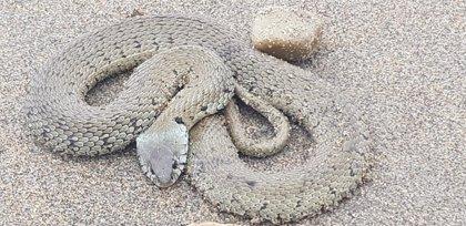 La OMS lanza una estrategia para reducir un 50% las muertes por mordedura de serpiente, hasta 137.880 se producen al año
