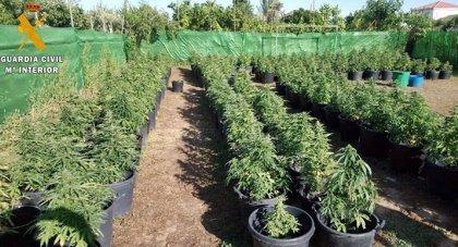 Desmantelada en Villanueva de la Serena una plantación con 256 plantas de marihuana