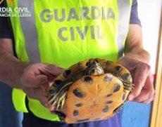 La Guàrdia Civil recupera una tortuga de Florida a Almacelles (Lleida) (GUARDIA CIVIL)
