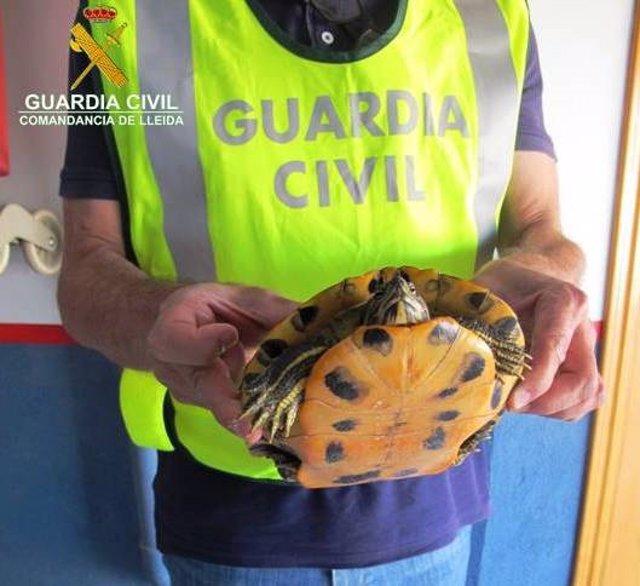 La Gurdia Civil recupera una tortuga de Florida a Almacelles (Lleida)