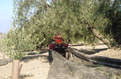 Más del 20% del olivar español en riesgo de abandono, según un estudio