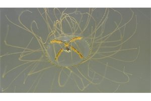 Brotes de pequeñas medusas venenosas se extienden por el mundo
