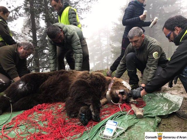 Capturen un ós mascle de 120 quilos a la Val d'Aran per posar-li un xip
