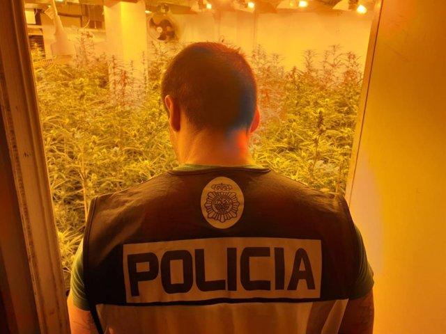 Alicante.- Sucesos.- La Policía desmantela un cultivo de marihuana y sus responsables golpean a agentes en la detención