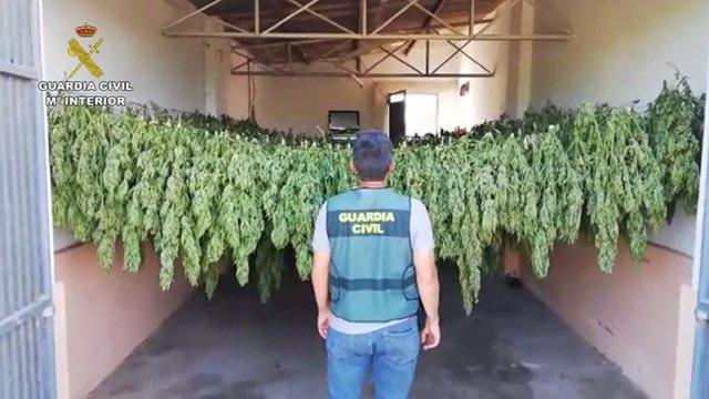 Sevilla.- Sucesos.- Detenidas dos personas por un cultivo de 1.200 plantas de marihuana en un invernadero de El Cuervo