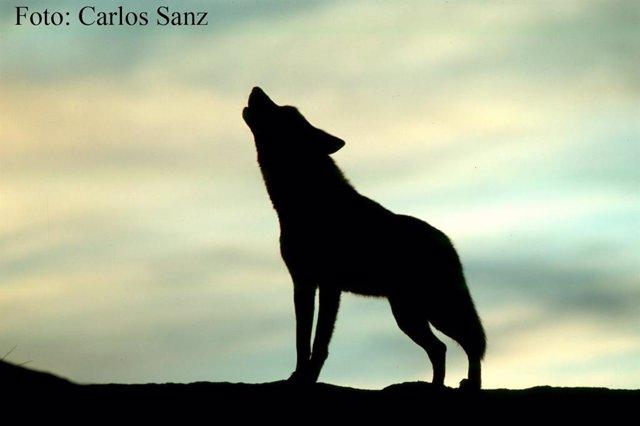 Lobo Ibérico Aullando Al Atardecer