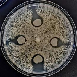 Descubiertos nuevos microorganismos en los suelos de Cantabria frente a bacterias superresistentes a antibióticos
