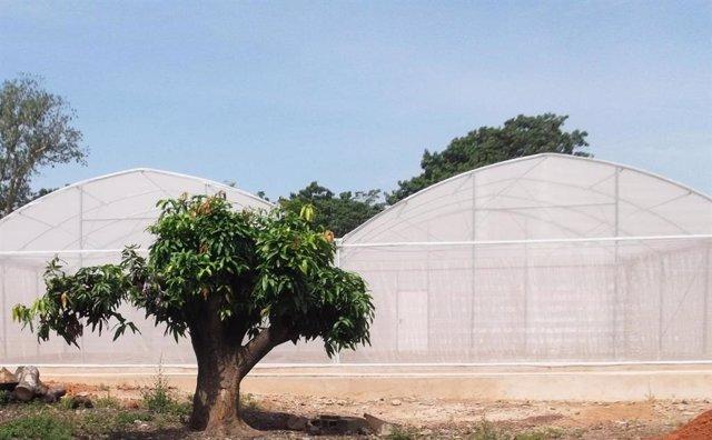 EEUU/Burkina Faso.- Un hongo transgénico mata rápidamente a mosquitos de la malaria en un estudio de África Occidental